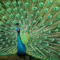 Peacock impressing mates