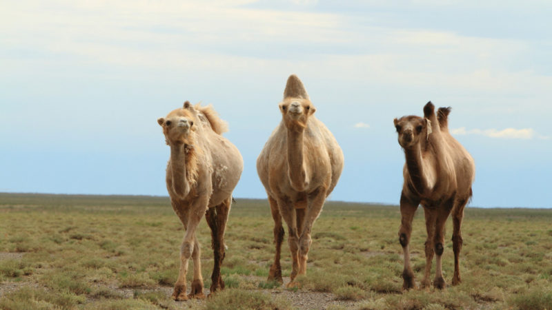 Camels stay strong and goofy